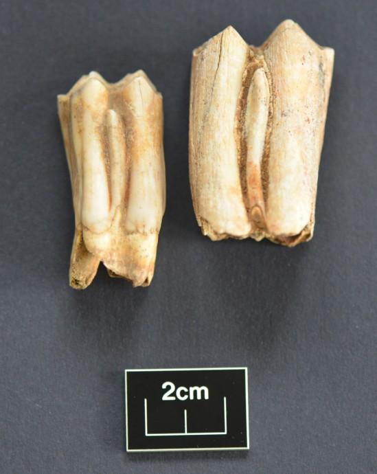 Aurochs tooth