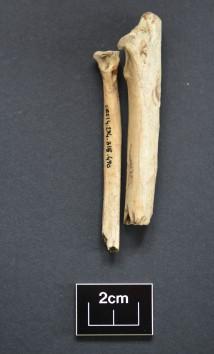Eagle wing bones